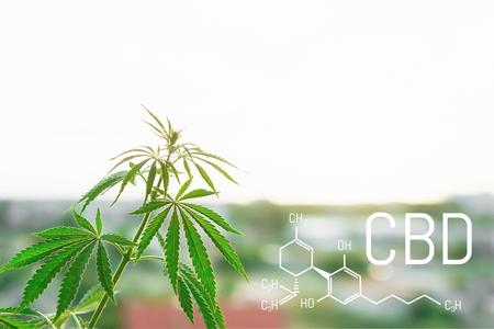 Foto per CBD medical marijuana element. Molecular structures, chemical formula of Cannabidiol. Growing cannabis - Immagine Royalty Free