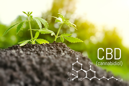 Foto per Growing natural marijuana with small seedlings from soil for the production of cannabis essential oil in medicinal preparations. CBD oil cannabidiol formula - Immagine Royalty Free
