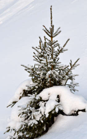 Freshly fallen snow on a small  fir tree