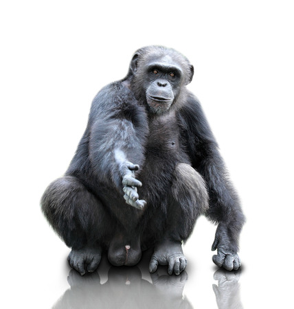 A portrait of a gorilla sitting on white background offering shake hand, isolated