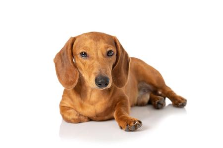 Photo pour Brown teckel dog isolated on white - image libre de droit
