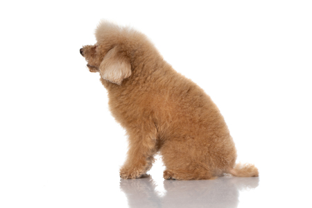 Photo for miniature poodle dog isolated - Royalty Free Image