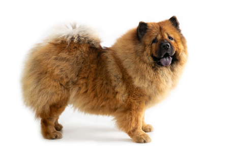 Photo pour cute chow chow dog with tongue sticking out - image libre de droit