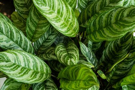 Photo pour Top view green of beautiful potted Aglaonema plants - image libre de droit