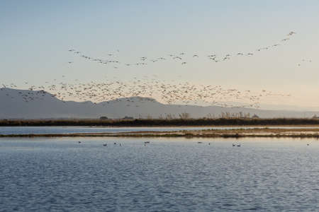 Photo pour flock of birds at sunrise in the natural park of Albufera, Valencia, Spain - image libre de droit