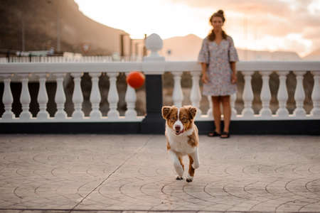Australian Shepherd dog jumps for the ball throwed by the owner