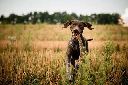 Kurzhaar dog with a stick in teeth runs across field