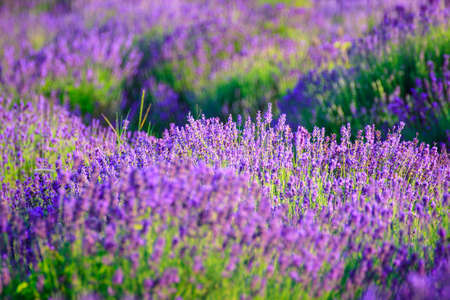 Foto de Lavender field in the summer in Tihany,Hungary - Imagen libre de derechos