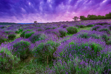 Sunset over a summer lavende