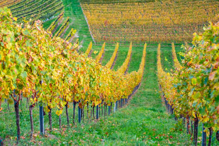 colors of vineyard in autumn in Slovenia close to the border with Austria south