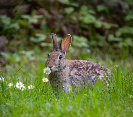 Foto per Rabbit eating flower in his habitat natural - Immagine Royalty Free