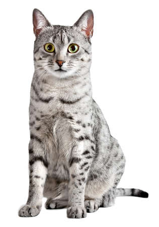 A cute Egyptian Mau cat Looking straight at camera