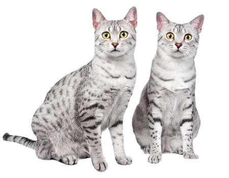 A pair of Egyptian Mau breed cats sitting together and looking directly at the camera   White background