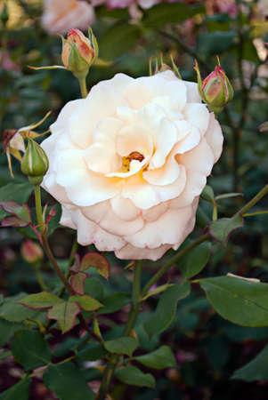 delicate flower roses in the garden.