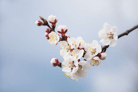 Photo pour a branch blooming with white flowers against a blue sky - image libre de droit
