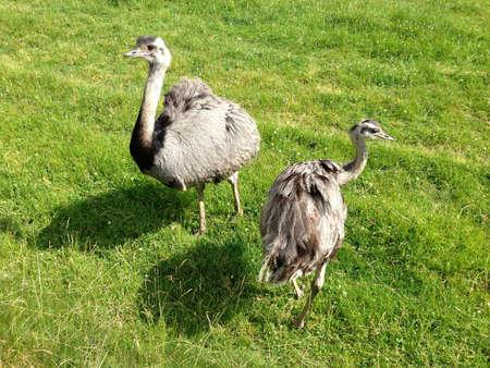 Two vogelstrau