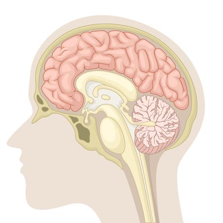 Illustration pour Median section of human brain - image libre de droit