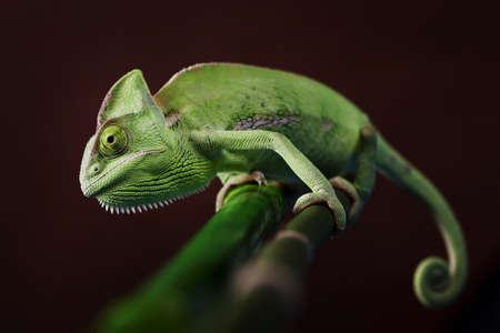 Green Chameleon closeup