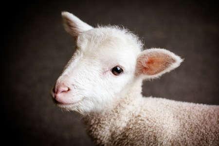 Baby Lamb Face