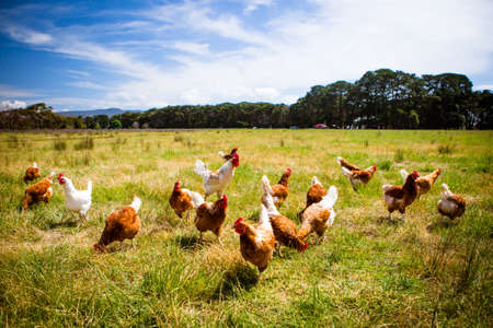 Photo pour Chickens In A Field - image libre de droit