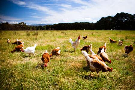 Photo pour Chickens In A Field - image libre de droit