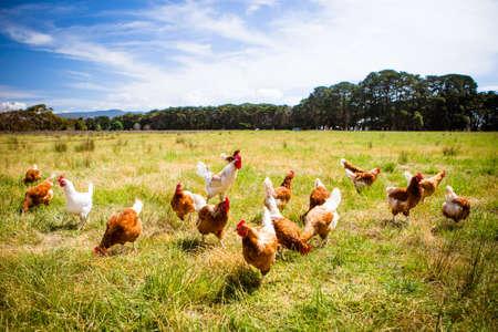 Foto de Chickens In A Field - Imagen libre de derechos
