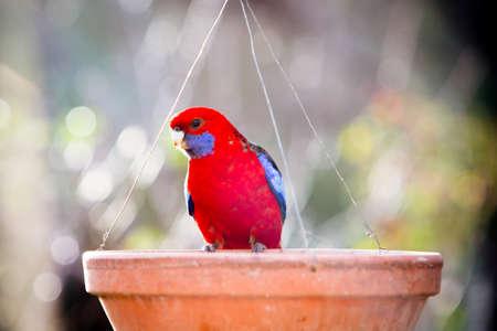 Photo pour Crimson Rosella in an Australian Garden - image libre de droit