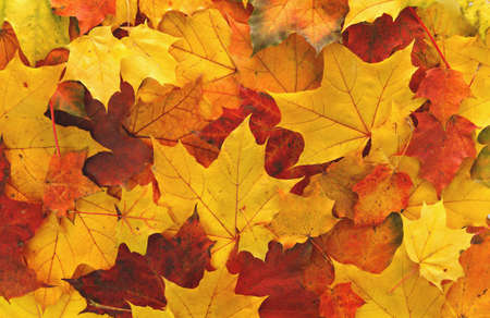 Colorful maple leaves background