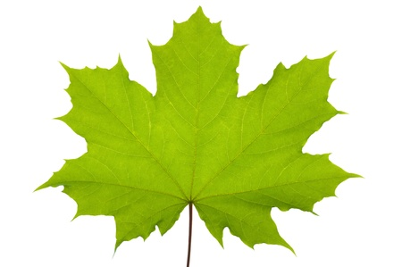Photo pour Green maple leaf isolated over white background - image libre de droit