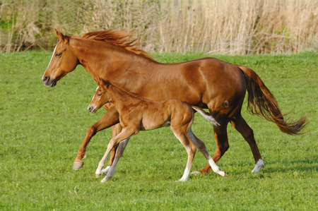 Mare horse in gallop with its foal