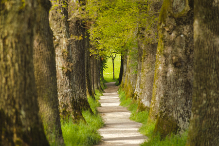 Avenue with many oak trees in row and footpath