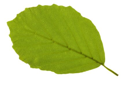 Photo for leaf of beech tree - Royalty Free Image