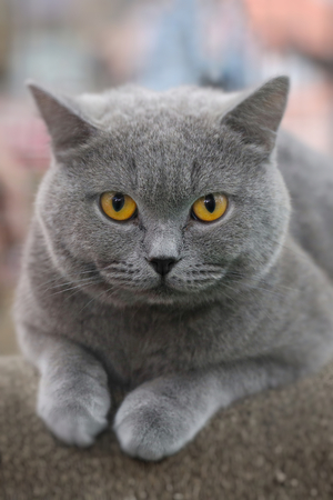 Photo pour Beautiful color American short hair cat sitting on the paper chair. Cute animals and pet concept, selective focus and free copy space. - image libre de droit