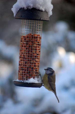 blue tit on peanut feeder in winter snow