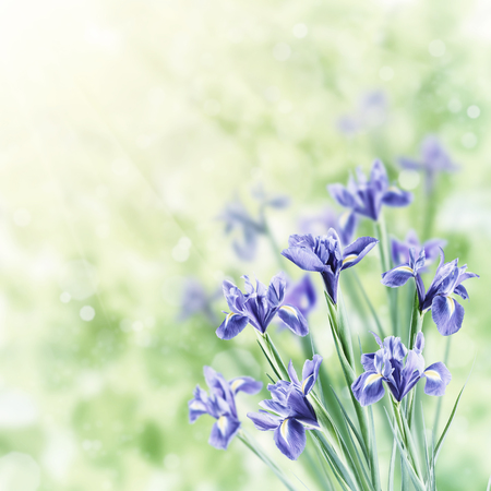 Photo for Spring nature background with beautiful iris flowers. Vintage stylization, retro film filter - Royalty Free Image