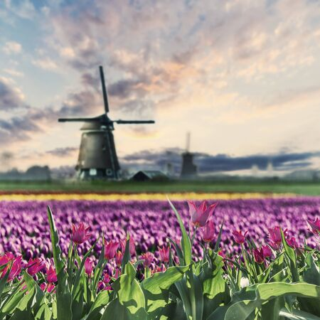 Photo pour Traditional Holland landscape with field of red tulip flowers and windmills, Netherlands. Vintave stylization, retro film filter - image libre de droit