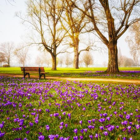 Foto de Violet blooming crocus flowers in the park. Spring landscape. Beauty in nature - Imagen libre de derechos