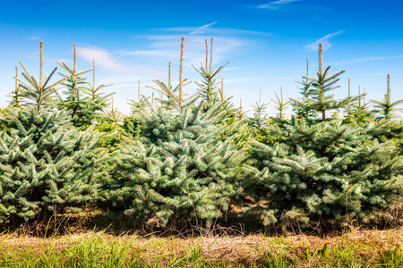 Christmas tree farm with spruce and fir trees. Summer landscape