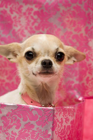 Chihuahua in a large pink gift box on a pink background wearing a chunky collar
