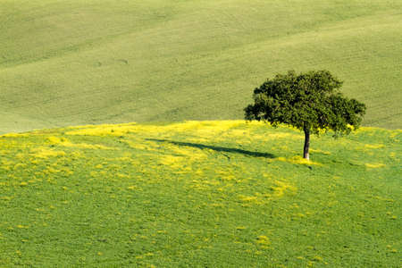 Lonley tree in field, Val d Orcia