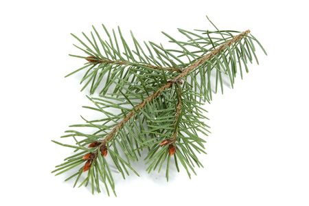 Isolated Evergreen Branch