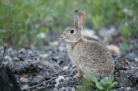 Foto de Rabbit portrait in the natural habitat, life in the meadow. European rabbit, Oryctolagus cuniculus - Imagen libre de derechos