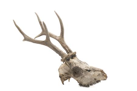 Photo pour Roe deer (Capreolus capreolus), mammal skull and horns, white background - image libre de droit
