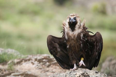 Foto de Cinereous Vulture, Aegypius monachus, standing on a rock - Imagen libre de derechos