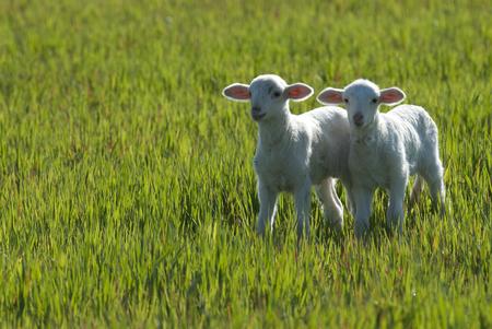 Foto de Ewe lambs sheep - Imagen libre de derechos