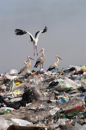 Foto de Group Ciconia ciconia in landfill - Imagen libre de derechos