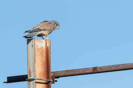 Photo pour kestrel searching for food on a metal beam - image libre de droit