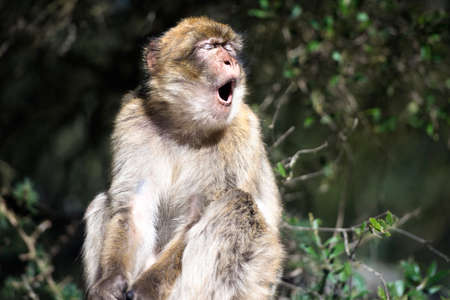 Barbary macaque yawn, in Gibraltar, the only place in Europe to live in freedom.