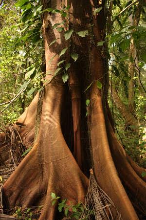 Trunk of a majestic ceiba, tropical tree, Tayrona National Park, Sierra de Santa Marta. Colombia