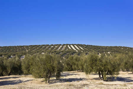 Panorama of the province of Seville, with olive trees  Andalusia, Spain